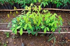 Gumowa drzewna pepiniera fotografia royalty free