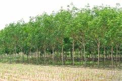 Gumowa plantacja Fotografia Royalty Free