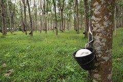 Gumowa plantacja w Langkawi, Malezja fotografia stock