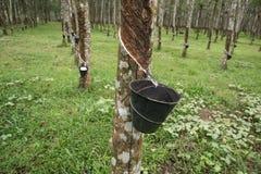 Gumowa plantacja w Langkawi, Malezja obraz royalty free
