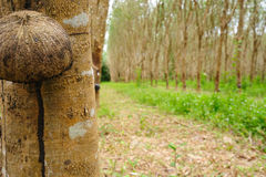 Gumowa plantacja w południe Thailand Fotografia Royalty Free