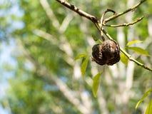 Gumowa roślina Obrazy Stock