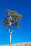 gumowego drzewa biel Fotografia Stock
