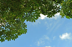 Gumowego drzewa cienia tło Obrazy Stock