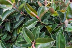 Gumowego drzewa Ficus elastica Zdjęcie Stock