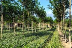 Gumowego drzewa I ananasa plantacja Zdjęcie Royalty Free