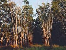 Gumowego drzewa las Obraz Stock