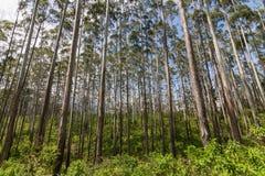 Gumowego drzewa las na Ella skały górze Obrazy Royalty Free