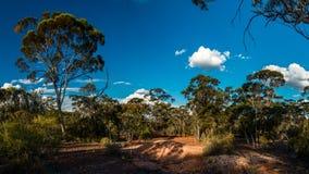 Gumowego drzewa las w zachodniej australii i niebieskim niebie Obraz Royalty Free