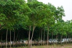 Gumowego drzewa lasy w Północnym Tajlandia Fotografia Royalty Free