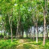 Gumowego drzewa naturalna lateksowa ekstrakcja Obraz Royalty Free