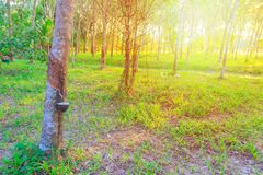 Gumowego drzewa ogródu rolnictwo w wsi i zmierzchu światło tonujemy z kopii przestrzenią dodaje tekst Zdjęcia Royalty Free