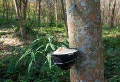 Gumowego drzewa plantacja, Tajlandia Fotografia Royalty Free