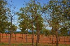 Gumowego drzewa plantacje Fotografia Royalty Free