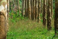 Gumowego drzewa sad w Tajlandia z rzędami drzewa Obraz Royalty Free
