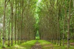 Gumowego drzewa tło Zdjęcie Royalty Free