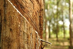 gumowi drzewa Fotografia Stock