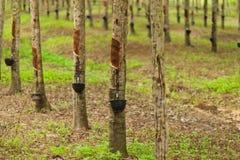 gumowi drzewa Zdjęcie Royalty Free