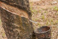 Gumowi drzewa. Zdjęcia Stock