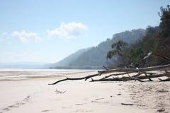 Gumowi drzewa Kłama Na plaży Fotografia Royalty Free
