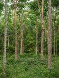 Gumowi drzewa przy gumowym ` s uprawiają ogródek fotografia stock