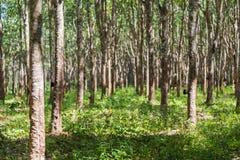 Gumowi drzewa w rzędzie dla gumowego drzewnego gospodarstwa rolnego w Tajlandia Obrazy Royalty Free