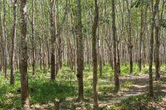 Gumowi drzewa w rzędzie dla gumowego drzewnego gospodarstwa rolnego w Tajlandia Obraz Stock
