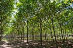 Gumowi drzewa w rzędzie dla gumowego drzewnego gospodarstwa rolnego w Tajlandia Obrazy Stock