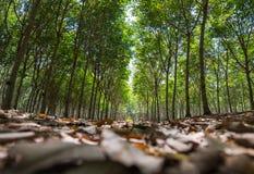 Gumowi drzewa w rzędzie dla gumowego drzewnego gospodarstwa rolnego w Tajlandia Fotografia Royalty Free