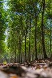 Gumowi drzewa w rzędzie dla gumowego drzewnego gospodarstwa rolnego w Tajlandia Fotografia Stock
