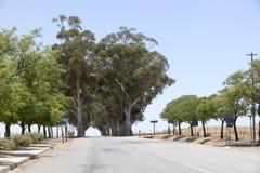 Gumowi drzewa wzdłuż autostrady w Południowa Afryka Zdjęcia Royalty Free