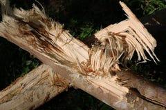Gumowy drzewo łamający Obraz Stock