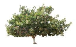 gumowy drzewo Fotografia Stock