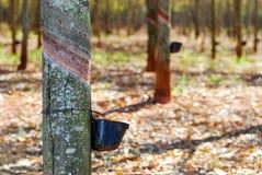 gumowy drzewo Zdjęcia Royalty Free
