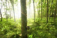 Gumowy drzewo Obraz Royalty Free