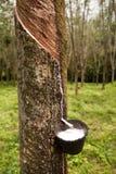 Gumowy drzewo Zdjęcie Stock