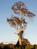Gumowy drzewo fotografia royalty free