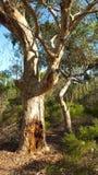 Gumowy drzewo Obrazy Royalty Free
