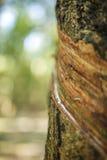 Gumowy drzewo & x28; Hevea brasiliensis & x29; , Tay Ninh prowincja, Wietnam Fotografia Stock