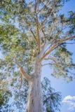 Gumowy drzewo na słonecznym dniu z pięknym niebieskim niebem obraz stock