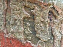 Gumowy drzewo stukający i textured Obrazy Stock