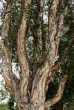 Gumowy eukaliptusowy drzewny bagażnik obrazy royalty free