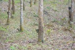 Gumowy lateks wydobujący od gumowego drzewa, Hevea Brasiliensis a Zdjęcie Royalty Free