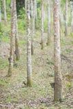 Gumowy lateks wydobujący od gumowego drzewa, Hevea Brasiliensis a Fotografia Stock