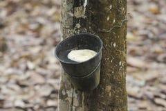 Gumowy lateks wydobujący od gumowego drzewa, Hevea Brasiliensis a Obraz Royalty Free