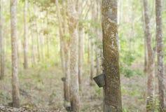 Gumowy lateks wydobujący od gumowego drzewa, Hevea Brasiliensis a Fotografia Royalty Free