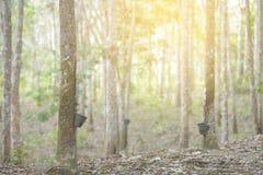 Gumowy lateks wydobujący od gumowego drzewa, Hevea Brasiliensis a Obrazy Royalty Free