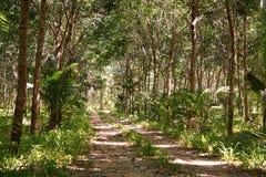 Gumowy lateksowy drzewny gospodarstwo rolne przy Phuket, Tajlandia Obrazy Stock