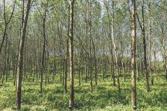 gumowy plantaci drzewo Obraz Stock