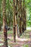 gumowy plantaci drzewo Obraz Royalty Free